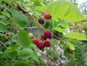Junberry1